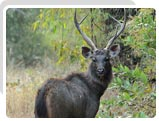 Sambar Dear at Bhagvan Mahavir Wildlife Sanctuary