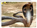 Cobra, Wildlife in Goa